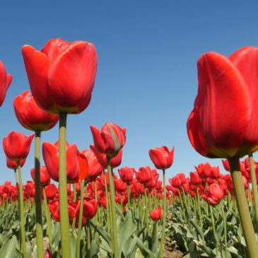Fotokonkurrence – Lollandske tulipanmarker